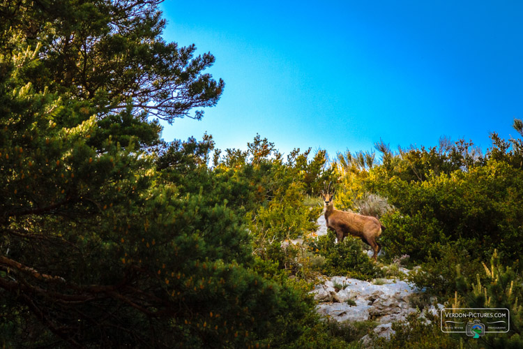photo chamois col lecques verdon