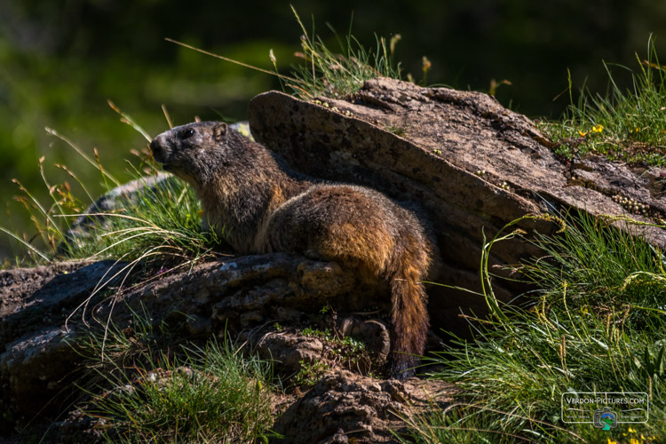 photo marmotte lac allos verdon