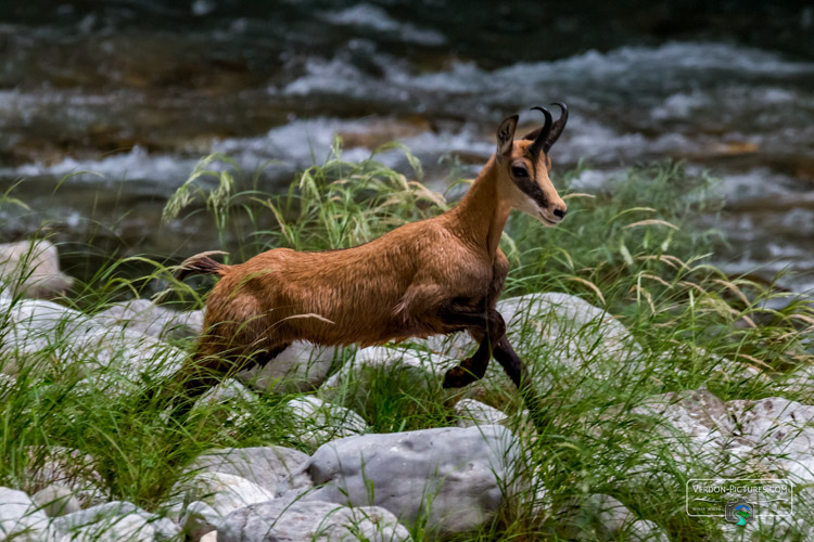 photo chamois canyon verdon