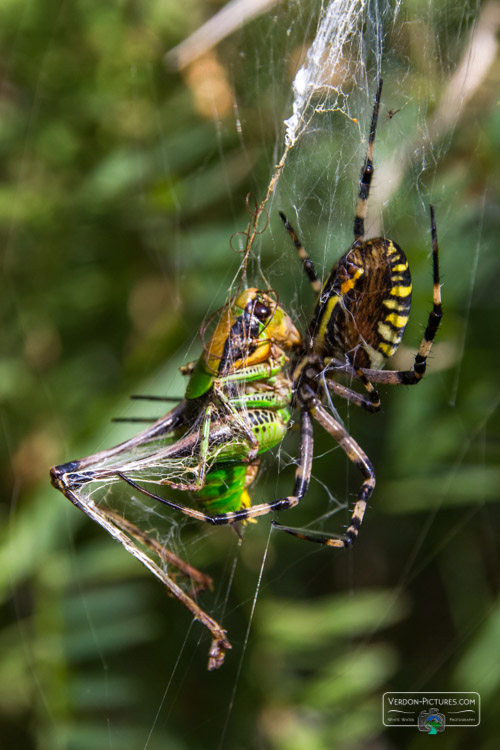 photo araignee argiope frelon verdon